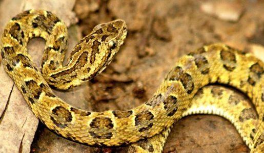 Nueva especie de serpiente yarará