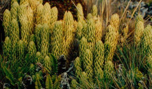 El poder afrodisíaco de plantas autóctonas